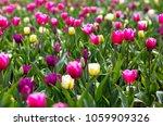 colorful tulip flowers field in ... | Shutterstock . vector #1059909326