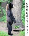 Small photo of Profile of an American Black Bear standing up on its hind legs