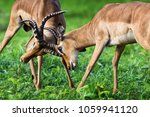 two male impalas in a... | Shutterstock . vector #1059941120