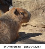 the capybara is the largest... | Shutterstock . vector #1059992264