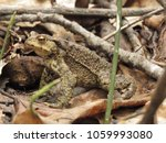common toad  bufo bufo  | Shutterstock . vector #1059993080