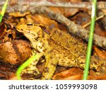 common toad  bufo bufo  | Shutterstock . vector #1059993098