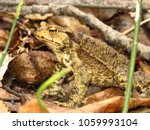 common toad  bufo bufo  | Shutterstock . vector #1059993104