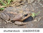 cane toad in natural habitat | Shutterstock . vector #1060045538