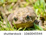 cane toad in natural habitat | Shutterstock . vector #1060045544