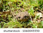 cane toad in natural habitat | Shutterstock . vector #1060045550