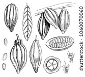hand drawn cocoa bean.  vector... | Shutterstock .eps vector #1060070060