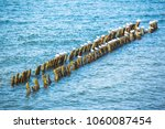 a flock of seagulls are sitting ... | Shutterstock . vector #1060087454