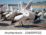 Group Of Pelicans Waiting To B...