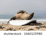 baby seal at the beach   Shutterstock . vector #1060125980