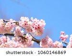 pink cherry blossom cherry... | Shutterstock . vector #1060146869