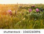 wild violet iris flower growing ... | Shutterstock . vector #1060260896