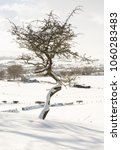 Twisted Hawthorn Tree In The...