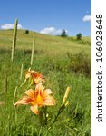 """Tiger Lilly and Field"" A close-up of a tiger lilly with a Summer hillside in the background. - stock photo"