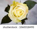 bright white yellow rose on... | Shutterstock . vector #1060318490