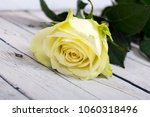 bright white yellow rose on... | Shutterstock . vector #1060318496