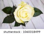 bright white yellow rose on... | Shutterstock . vector #1060318499