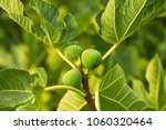 Small photo of Fruit in fig tree, summertime outdoor theme