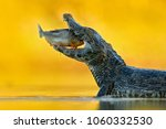 yacare caiman  crocodile with... | Shutterstock . vector #1060332530
