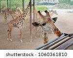 close up head of giraffe at zoo ... | Shutterstock . vector #1060361810