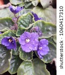 Small photo of African violet Blooms
