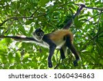 Cute And Curious Spider Monkey...