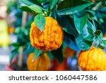 citrus aurantium corrugato or... | Shutterstock . vector #1060447586