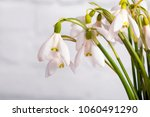 snowdrop flowers isolated on... | Shutterstock . vector #1060491290