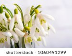 snowdrop flowers isolated on...   Shutterstock . vector #1060491299