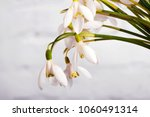 snowdrop flowers isolated on... | Shutterstock . vector #1060491314