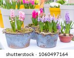 fresh multicolors of hyacinth...   Shutterstock . vector #1060497164