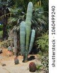 pachycereus pringlei  also... | Shutterstock . vector #1060499240