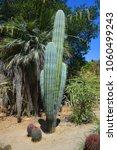 pachycereus pringlei  also... | Shutterstock . vector #1060499243
