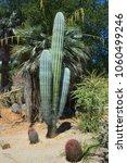 pachycereus pringlei  also... | Shutterstock . vector #1060499246