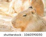 close up capybaras  ...   Shutterstock . vector #1060590050