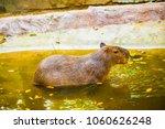 capybara in thai  thailand.   Shutterstock . vector #1060626248