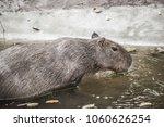 capybara in thai  thailand.   Shutterstock . vector #1060626254