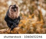 a bearded ape in the jungle. | Shutterstock . vector #1060652246