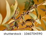 a branch of an eucalyptus with... | Shutterstock . vector #1060704590