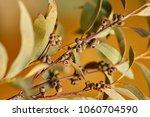a branch of an eucalyptus with... | Shutterstock . vector #1060704590