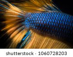siamese fighting fish betta... | Shutterstock . vector #1060728203
