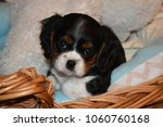 Small photo of king charles cavalier spaniel puppy in basket