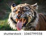 a sumatran tiger engaging in ... | Shutterstock . vector #1060799558