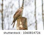 european kestrel  falco... | Shutterstock . vector #1060814726