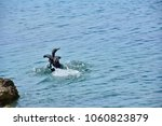 Photo Of A Cormorant When He...