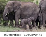 family elephants with very... | Shutterstock . vector #1060890443