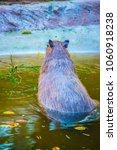 capybara in thai  thailand.   Shutterstock . vector #1060918238