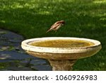 A  Brave Field Sparrow Taking...