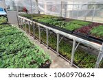 plant seedlings that can be... | Shutterstock . vector #1060970624