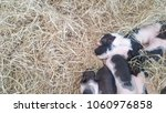 Black And White Piglets...